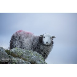 Herdwick on High