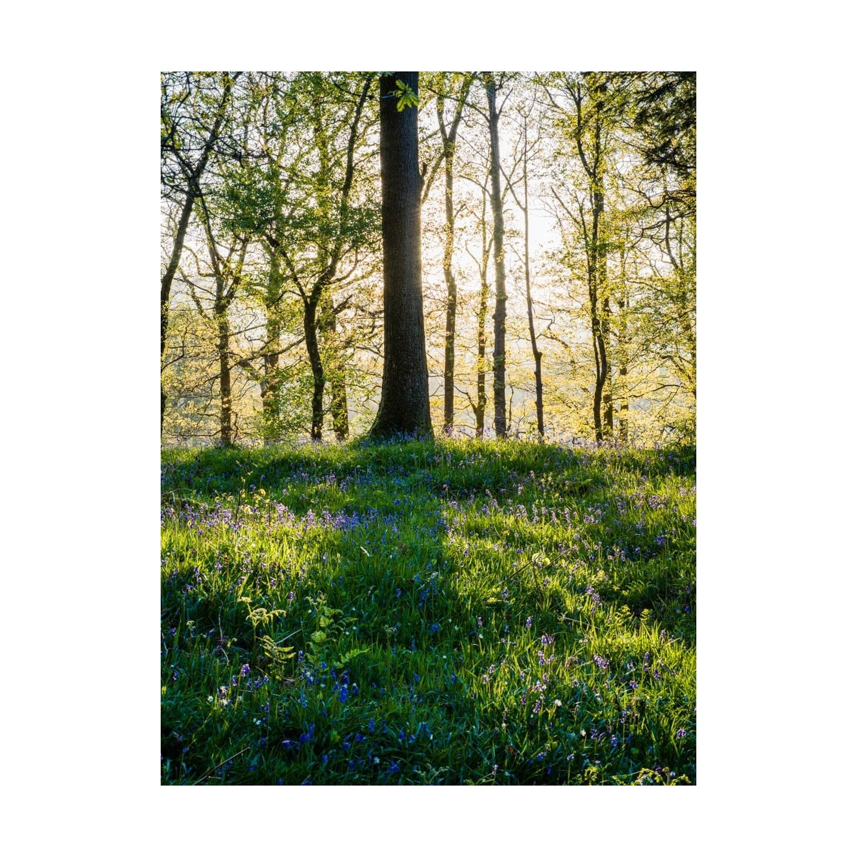 Bluebell Shadow