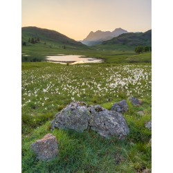 Cotton Grass at Blea Tarn