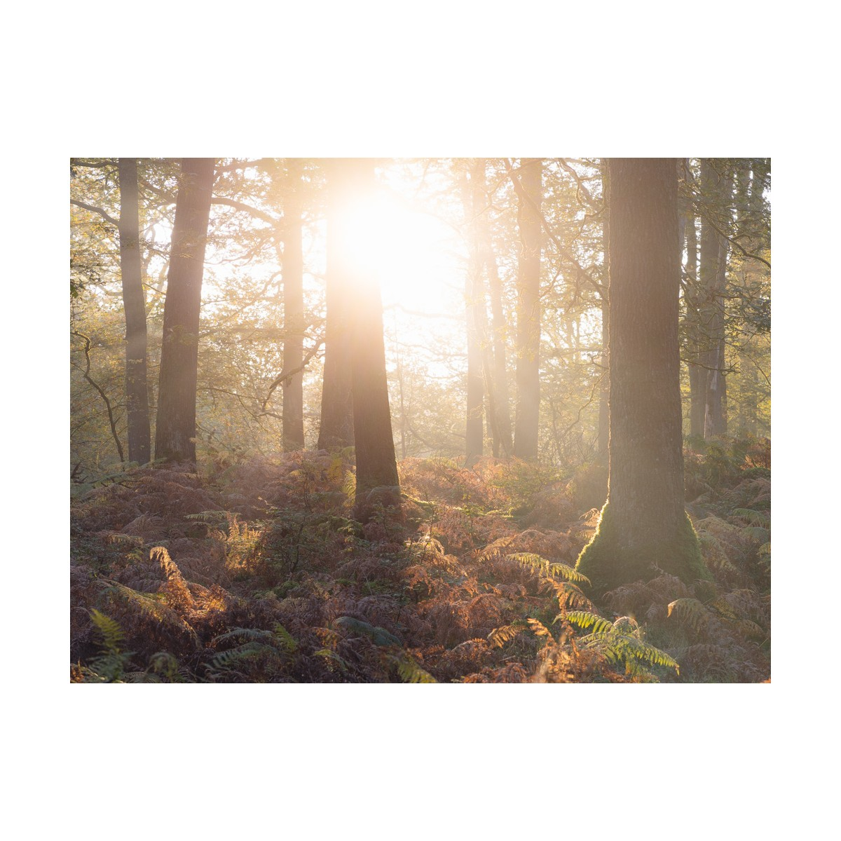 Woodland Sunburst