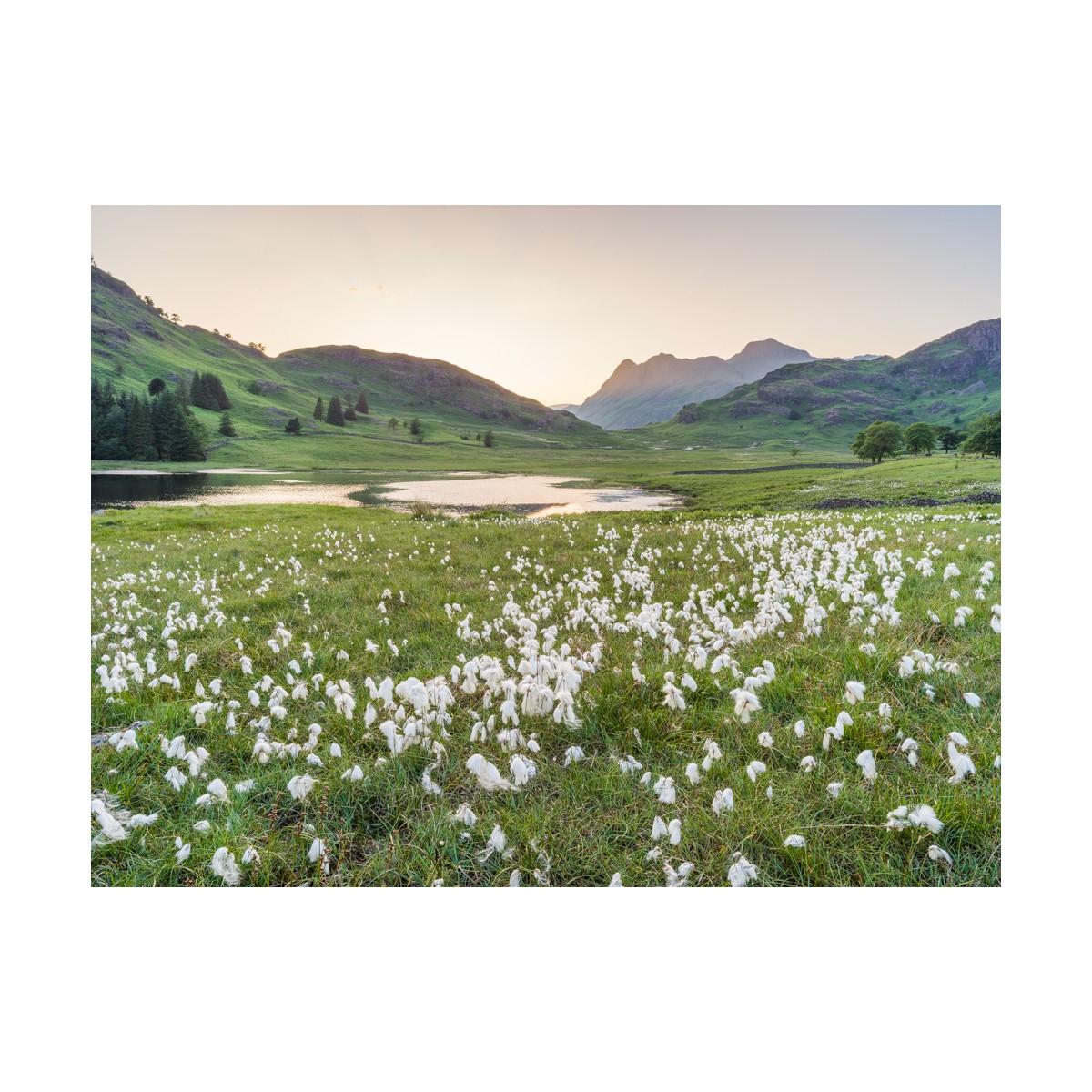 Cotton Grass at Blea Tarn II