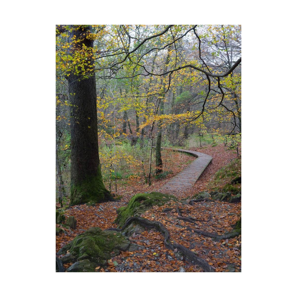 Woodland Boardwalk Autumn