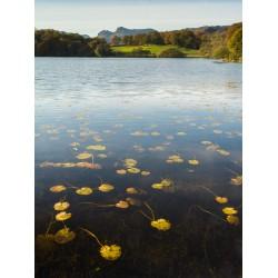 Loughrigg Tarn Lillies
