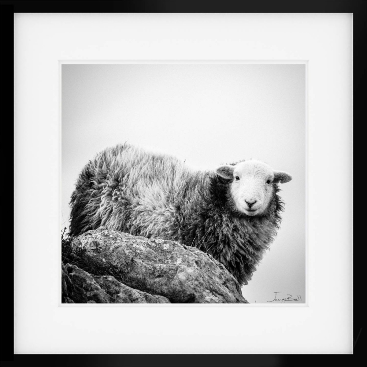 Herdwick on High II Print