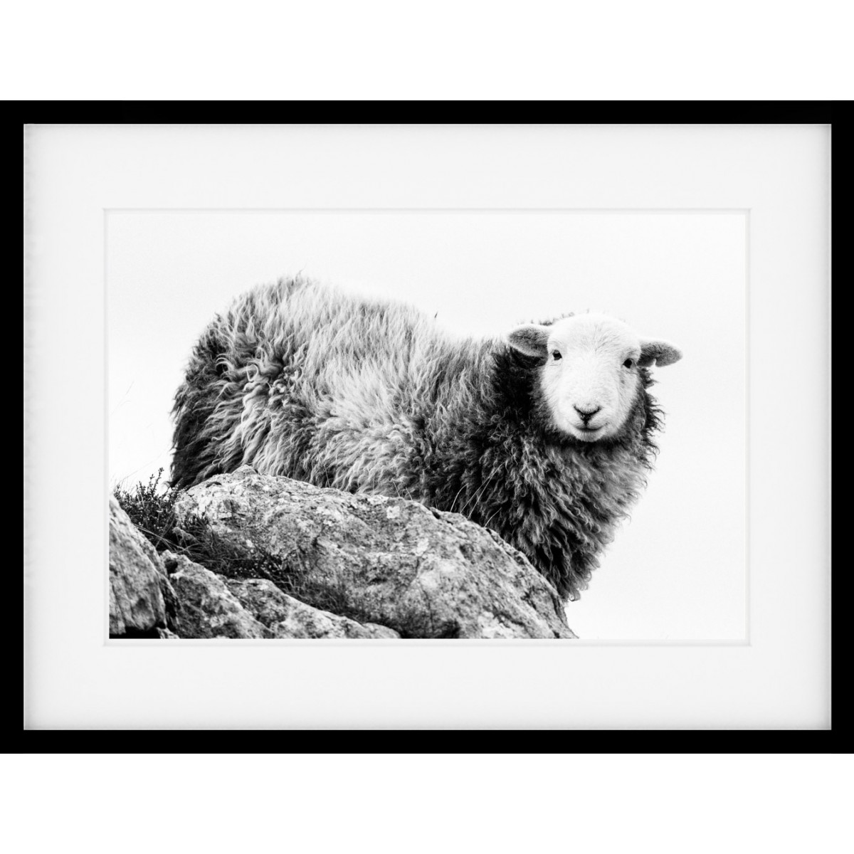 Herdwick on High Mono Framed Print