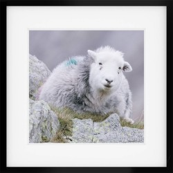 Peaceful Herdwick Framed Print