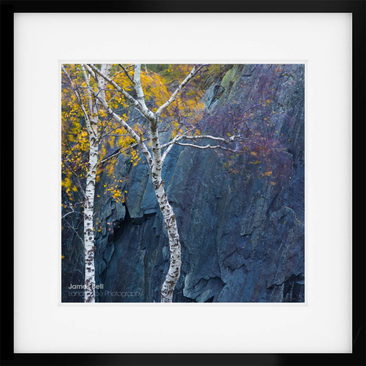 Silver Birch Square framed print