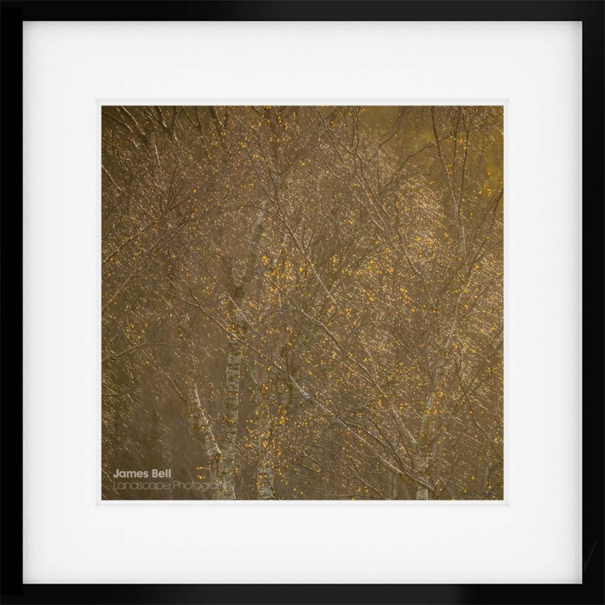 Silver Birch Autumn framed print