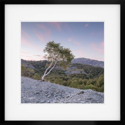 Silver Birch Sunset framed print